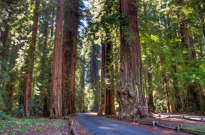 redwood-forest-road