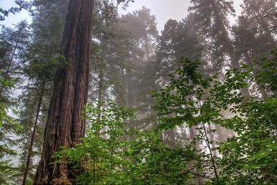 foggy-redwoods-2
