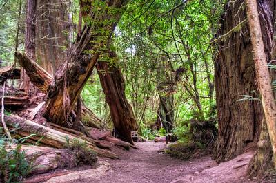 redwood-tree-trunks