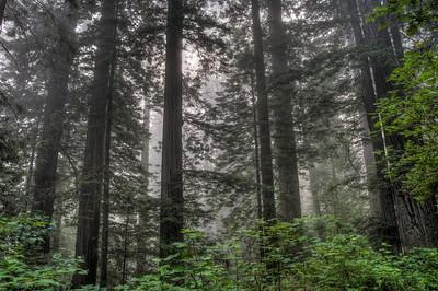 foggy-redwoods