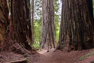 redwood-tree-trunks-2