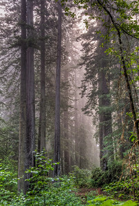 foggy-redwood-forest