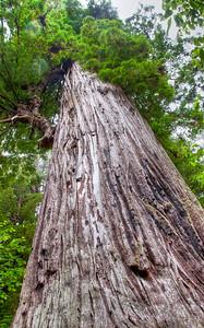 tall-redwood-tree-trunk