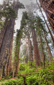 foggy-redwood-forest-2