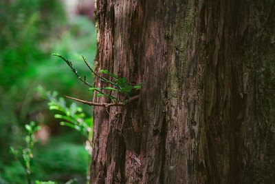 Humboldt Redwoods-13