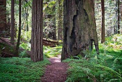 Humboldt Redwoods-8