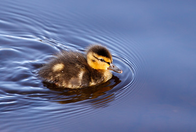 Swimming By - Mallard Duckling (Sprague Lake -  Rocky Mountain National Park)