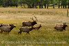 Elk herd, Rocky Mt NP- Sept (39)