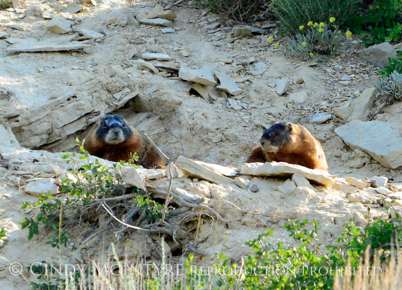 Yellow-bellied marmots, Fossil Butte NM WY (2)