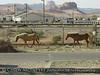 Horses, Kayenta AZ (2)