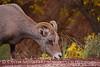 Desert Bighorn ewe, Zion NP UT (18)