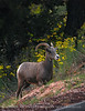 Desert Bighorn ewe, Zion NP UT (32)