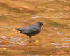 Dipper Water Ouzel, Zion NP UT (14)
