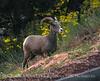 Desert Bighorn ewe, Zion NP UT (33)