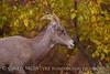 Desert Bighorn ewe, Zion NP UT (31)
