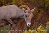 Desert Bighorn ewe, Zion NP UT (19)