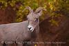 Desert Bighorn ewe, Zion NP UT (16)