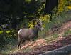 Desert Bighorn ewe, Zion NP UT (34)