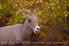 Desert Bighorn ewe, Zion NP UT (24)
