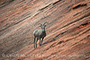 Desert Bighorn ewe, Zion NP UT (1) copy