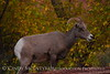 Desert Bighorn ewe, Zion NP UT (6)