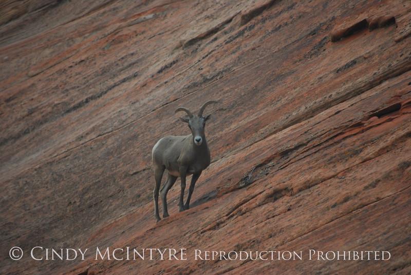 Desert Bighorn ewe, Zion NP UT (1)