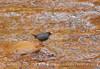 Dipper Water Ouzel, Zion NP UT (21)