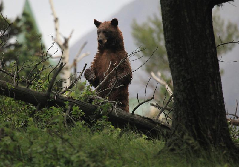 Black Bear (Ursus americanus)