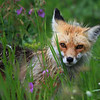 Red Fox (Vulpes vulples)