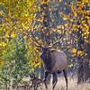Elk, Grand Teton NP
