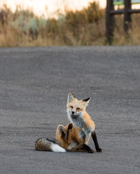 Red Fox, Dornan's Parking lot, Grand Teton NP