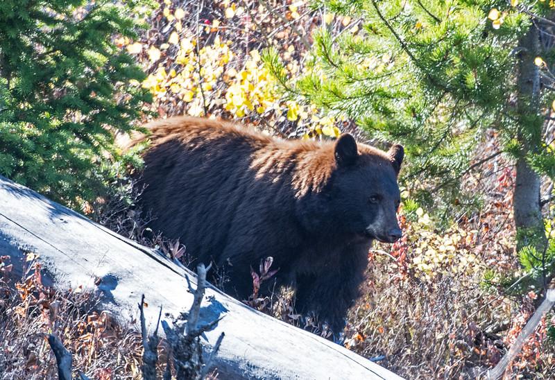 (Cinnamon) Black Bear, Elk Creek, Yellowstone NP