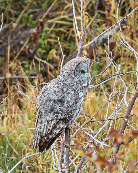 Great Gray Owl, Sawmill Pond, Grand Teton NP