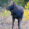 Young bull Moose, Grand Teton NP