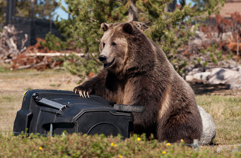 """Testing """"bear proof"""" garbage cans"""
