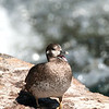 Harlequin duck, LeHardy rapids, Yellowstone river.