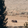 Hayden Valley grizzly, photo enlarged quite a bit.