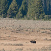 Grizzly bear, Hayden Valley, photo enlarged, next photo original size.  He was pretty far away