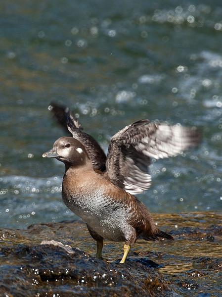Harlequin duck, LeHardy rapids, Yellowstone river.