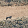 Wolf, Hayden Valley, photo enlarged quite a bit........
