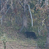 Black bear near Mt Washburn.  Photo enlarged quite a bit.