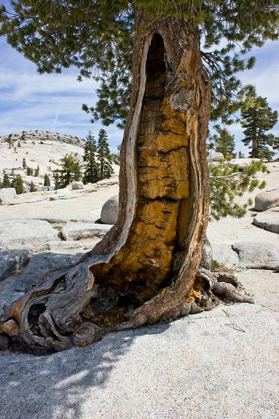 Rotting Pine Tree