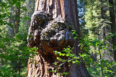 sequoia-burl-3