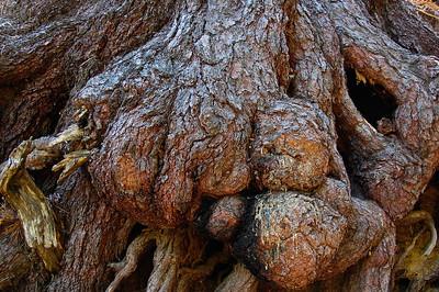 sequoia-burl