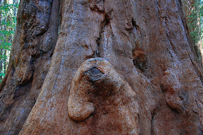 sequoia-burl-2