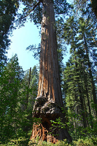 sequoia-burl-5