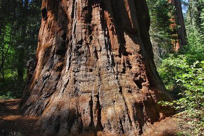 sequoia-trunk