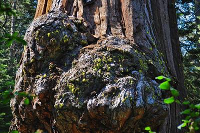 sequoia-burl-4