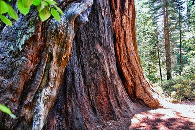 sequoia-trunk-2