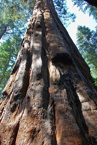 tall-sequoia